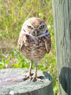 Villa Yellow Hibiscus Owl