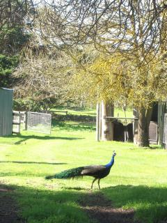 You might receive a visit from our peacock