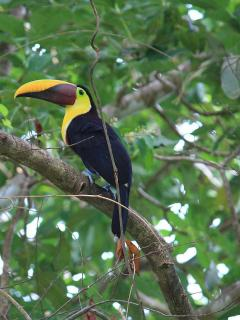 toucan, corcovado national park