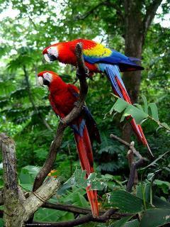 macaws in puerto jimenez