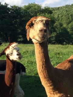 This is Way Big, one of our favorite Alpacas.