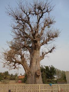 le baobab au bord de la piscine