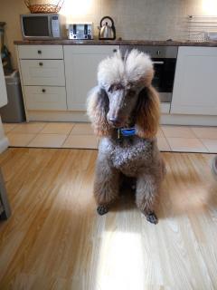 Ben - Standard Poodle