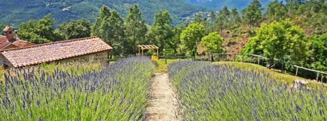 A path of lavander to reach the swimming pool