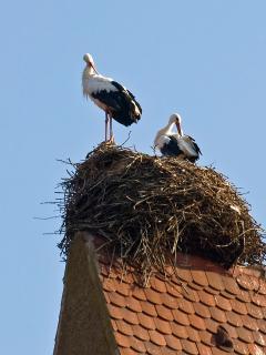 les cigognes d'Eguisheim