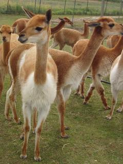 rare and gorgeous paco-vicunas, specializing in very fine fleeces