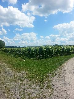 Domaine Perrault grapevines! Navan has a vineyard! Two minutes drive; or Bicycle to enjoy a visit.