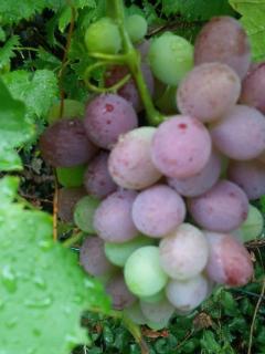 L'uva sta maturando sulle viti del giardino.Un piccolo vigneto in città.
