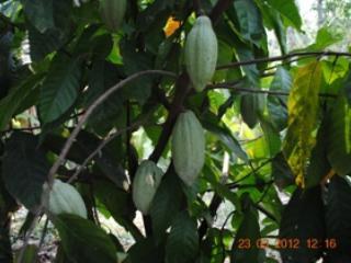 Cocoa in the farm