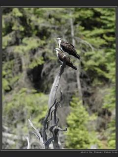 Ospreys down near the south end of the lake.