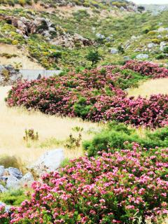 a river of oleanders