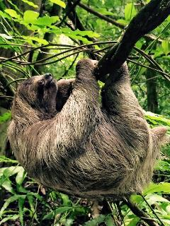 Sloth at the pool at Pete's Comfy Manuel Antonio Cottage