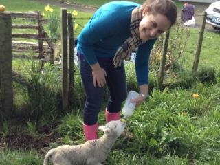 A guest feeding lambs in August