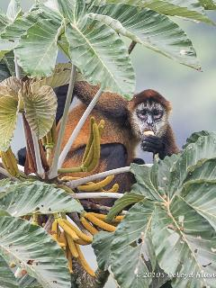 A spider monkey photographed from the yard behind the house