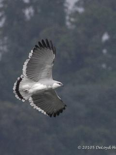 One of the White Hawks flying by the house