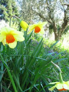daffodils and wild violet in our olive grove in springtime