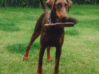 Hunde Willkommen - Eine helfende Dobi-Maus beim Fegen