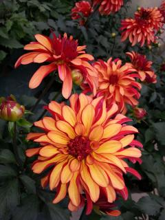 Dahlias before the deer arrived