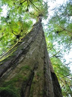 Awesome height on Old Growth forest Red Cedar