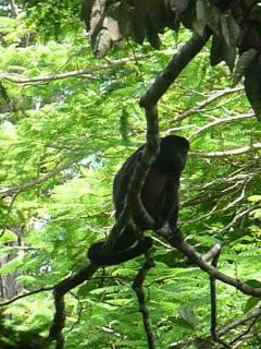 howler monkey in front of the balcony