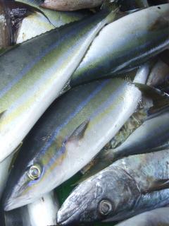 Frisch gefangene Ocean Yellowtail