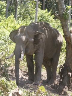 Enjoy elephant trekking close to Samui Ridgeway