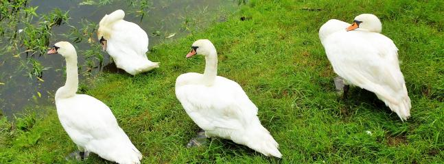 Swans regularly pay us a visit.
