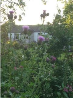 the scottish thistle