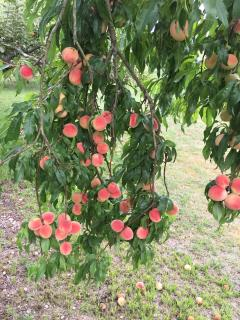 Abundance of Fruit in the Orchards . Help yourself to peaches, apples and variety of plums