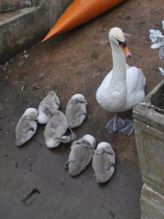 Mrs Swan with cygnets - May 2015