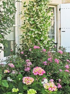 The Jasmine and Hydrangea in bloom by the Front Door.