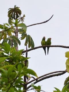 También se ven pericos y varias aves exóticas que alegran el ambiente tropical con sus cantos.