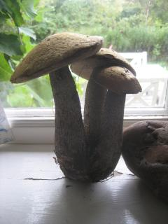 Karl-Johan mushrooms from the forest