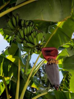 bananas in our garden