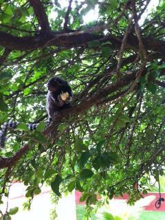 Monkeys like Ponta Negra, too !