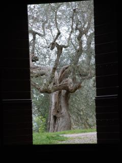 Tree in Pienza
