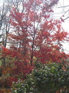 Fall Colours..Sugar Maple Trees