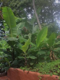 A view of the banana trees seen from The Secret Garden.