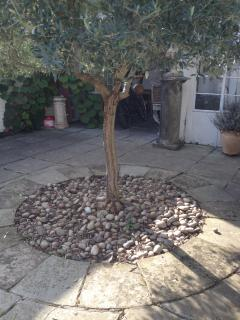The Olive tree in the front garden