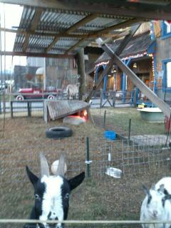THIS IS SOME OF THE FRIENDLY ANIMALS AT HATFIELD AND MCCOYS.