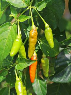 Chili pepper in the yard for those who like a little spice with their meal. ;-)