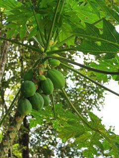Papaya tree growing right next to the rancho! These ones will be delicious in another week.