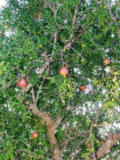 Pomegranate tree to help yourselves in autumn!