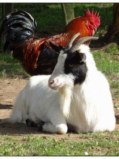 Lily une des chèvres