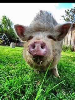 Rillette une des stars de la ferme,cochon nain chinois