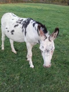 Bijou  the donkey