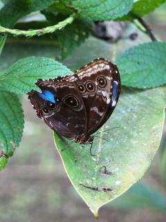 Blue morpho butterfly at rainforest !