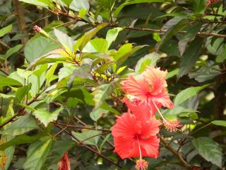 Hibiscus in the garden.