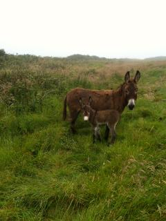 Donkey and foal on the headland