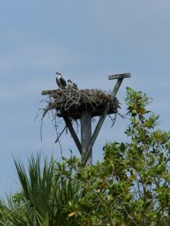 You'll pass this osprey nest on the walk to the beach.